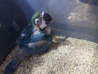 Macaw Birds for sale in Colorado St, Austin, TX 78701, USA. price: NA