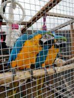 Macaw Birds for sale in NJ-17, Paramus, NJ 07652, USA. price: NA