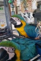 Macaw Birds for sale in Alliance, OH 44601, USA. price: NA