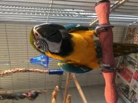 Macaw Birds for sale in Indianapolis Blvd, Hammond, IN, USA. price: NA