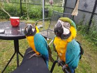 Macaw Birds for sale in Texas Charter Township, MI, USA. price: NA