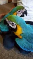 Macaw Birds for sale in Washington, DC, USA. price: NA