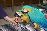 Macaw Birds for sale in Chicago, IL 60612, USA. price: NA