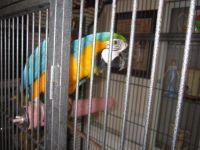 Macaw Birds for sale in 704 N North Carolina Ave, Atlantic City, NJ 08401, USA. price: NA