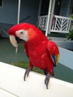 Macaw Birds for sale in Claremont, CA, USA. price: NA