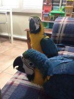 Macaw Birds for sale in NJ-3, Clifton, NJ, USA. price: NA