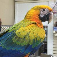 Macaw Birds for sale in Tempe, AZ, USA. price: NA