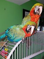 Macaw Birds for sale in Kansas Ave, Kansas City, KS, USA. price: NA