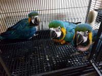 Macaw Birds for sale in Cheyenne, WY 82001, USA. price: NA
