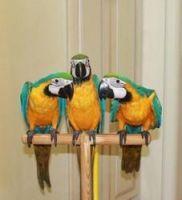 Macaw Birds for sale in Calhoun Rd, Houston, TX, USA. price: NA