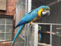Macaw Birds for sale in Beverly Hills, CA, USA. price: NA