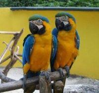 Macaw Birds for sale in Nevada City, CA 95959, USA. price: NA