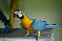 Macaw Birds for sale in Charlotte, NC, USA. price: NA