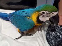Macaw Birds for sale in Boston, MA, USA. price: NA