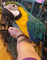 Macaw Birds for sale in Chicago, IL, USA. price: NA