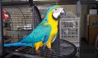 Macaw Birds for sale in Richmond, CA, USA. price: NA