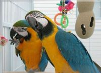 Macaw Birds for sale in Cleveland, OH, USA. price: NA