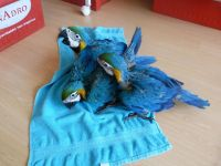 Macaw Birds for sale in California State Route 2, Los Angeles, CA, USA. price: NA