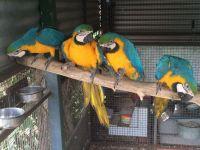 Macaw Birds for sale in Newark, NJ, USA. price: NA
