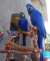 Macaw Birds for sale in Georgia, IN 47452, USA. price: NA