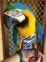 Macaw Birds for sale in Manassas, VA, USA. price: NA