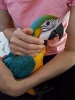 Macaw Birds for sale in San Francisco, CA, USA. price: NA