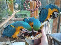 Macaw Birds for sale in Dallas, TX, USA. price: NA