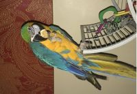 Macaw Birds for sale in Phillips, WI 54555, USA. price: NA