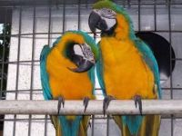 Macaw Birds for sale in San Jose, CA, USA. price: NA
