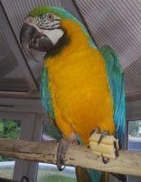 Macaw Birds for sale in Miami, FL 33101, USA. price: NA