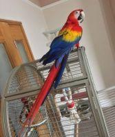 Macaw Birds for sale in NC-55, Fuquay Varina, NC 27526, USA. price: NA