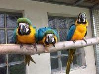 Macaw Birds for sale in Charleston, WV, USA. price: NA