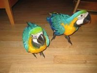 Macaw Birds for sale in St. Louis, MO, USA. price: NA