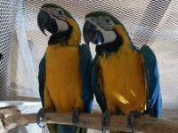 Macaw Birds for sale in Fontana, CA 92335, USA. price: NA