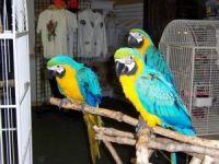 Macaw Birds for sale in Las Vegas, NV, USA. price: NA