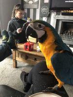 Macaw Birds for sale in Houston, TX 77043, USA. price: NA