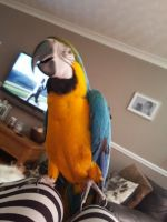 Macaw Birds for sale in California St, San Francisco, CA, USA. price: NA