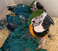Macaw Birds for sale in Atlanta, GA 30342, USA. price: NA