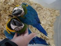 Macaw Birds for sale in Browns Summit, NC 27214, USA. price: NA