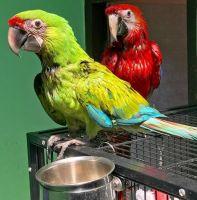 Macaw Birds for sale in Redding, CA, USA. price: NA