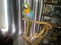 Macaw Birds for sale in Orlando, FL 32825, USA. price: NA