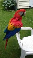 Macaw Birds for sale in Wausau, WI, USA. price: NA