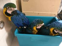 Macaw Birds for sale in Houston, TX, USA. price: NA
