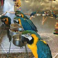 Macaw Birds for sale in Philadelphia, PA, USA. price: NA