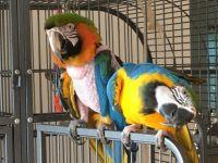 Macaw Birds for sale in Vineland, NJ, USA. price: NA
