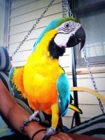 Macaw Birds for sale in Tampa, FL, USA. price: NA
