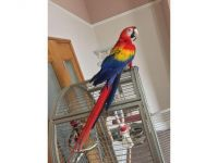 Macaw Birds for sale in Bloomfield Hills, MI 48304, USA. price: NA