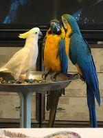 Macaw Birds for sale in OH-18, Medina, OH, USA. price: NA