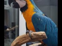 Macaw Birds for sale in Seattle, WA, USA. price: NA