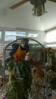 Macaw Birds for sale in Pondfield Rd, Bronxville, NY 10708, USA. price: NA